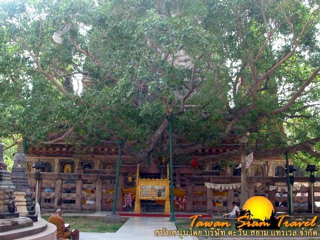 ต้นพระศรีมหาโพธิ์  ต้นไม้ที่พระพุทธเจ้าประทับนั่งและได้ตรัสรู้ใต้ต้นอัสสัตถะพฤกษ์