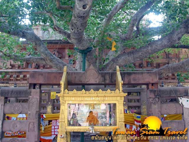 ต้นพระศรีมหาโพธิ์นี้ ปัจจุบันมิใช่ต้นเดิมตั้งแต่ครั้งพุทธกาล แต่เป็นรุ่นที่ ๔ ซึ่งแตกหน่อมาจากต้นเดิม