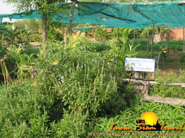 สวนผักที่วัดไทยลุมพินี ประเทศเนปาล
